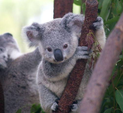 654px-cutest_koala